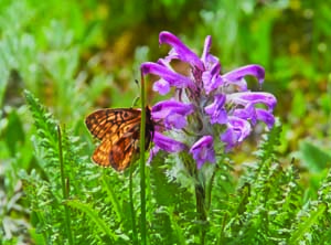 Uncompahgre Fritillary at VISION House at Mariposa Meadows
