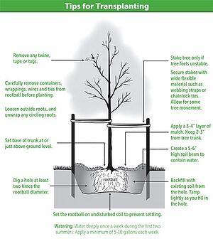 tips for transplanting
