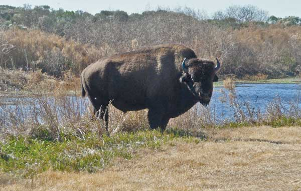 Celestia Bison