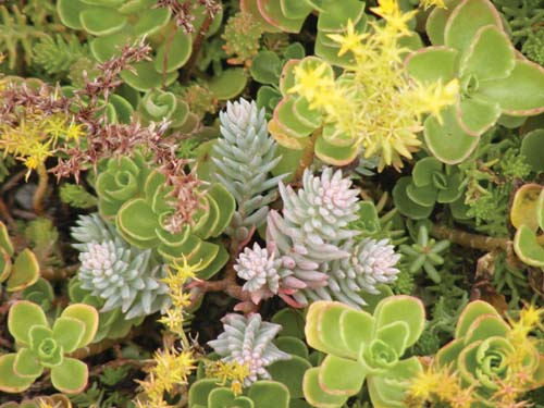 Plants for a Green Roof
