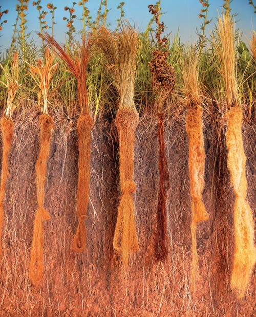 Prairie grass roots