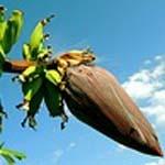 Banana Waste for Biofuel?