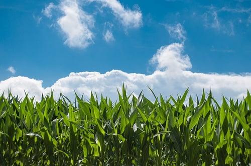 corn-field-440338_640