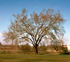 American Elm tree without leaves.