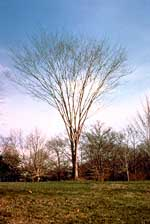 Japanese Zelcova tree without leaves.
