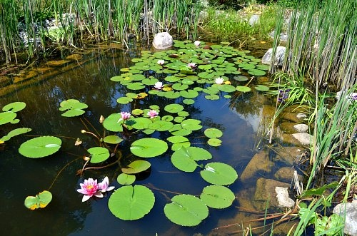 Natural Pond With No Pumps Filters The Beneficial Bacteria